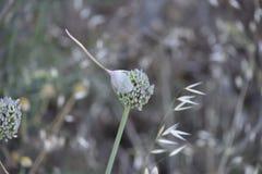 Fleur de ciboulette épluchant le capot pour s'ouvrir photographie stock libre de droits