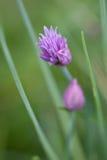 Fleur de ciboulette Photo libre de droits