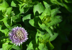 Fleur de ciboulette Photo stock