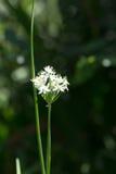 Fleur de ciboulette d'ail Photographie stock