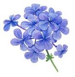 Fleur de ciel Photographie stock libre de droits