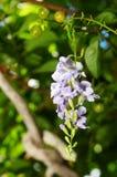 Fleur de ciel Photo stock