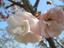 Fleur de ciel bleu @ Photo libre de droits