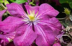 Fleur de clématite à l'entrée au parc image libre de droits