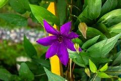 Fleur de clématite Photos stock