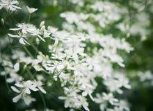 Fleur de clématite Photo libre de droits