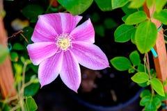 Fleur de clématite Photographie stock libre de droits