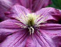 Fleur de clématite Photos libres de droits