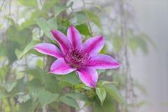Fleur de clématite pourpre sur la vigne photo libre de droits