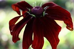 Fleur de claret d'un rudbeckia image stock