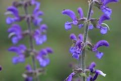 Fleur de clary de pré ou de sauge de pré photo stock