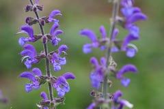 Fleur de clary de pré ou de sauge de pré photos stock