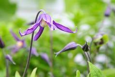 Fleur de Clematis Photos stock