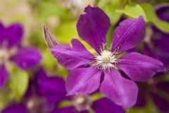 Fleur de clematis pourpré Photos libres de droits