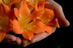 Fleur de Clivia Photographie stock