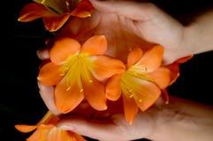 Fleur de Clivia Photographie stock libre de droits