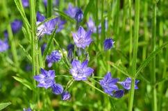 Fleur de cloche bleue Images libres de droits