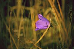 Fleur de cloche bleue Photo stock
