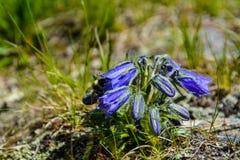 Fleur de cloche bleue avec l'abeille Image libre de droits