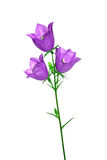 Fleur de cloche d'isolat sur un fond blanc Images stock