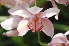 Fleur de cloche rose Images libres de droits