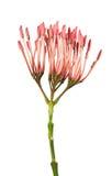 Fleur de coccinea d'Ixora, ixora rose d'isolement sur le fond blanc Photographie stock