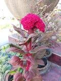 Fleur de Cockscomb photos libres de droits