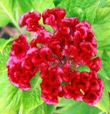 Fleur de Cockscomb Photo libre de droits