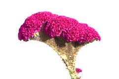 Fleur de Cockscomb Photographie stock libre de droits
