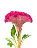 Fleur de Cockscomb Photographie stock