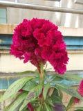 Fleur de Cockscomb Image libre de droits