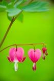 Fleur de coeur de purge - spectabilis de Dicentra Photo libre de droits