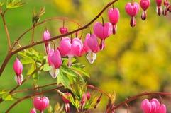 Fleur de coeur de spectabilis de Dicentra dans le jardin émotion Photo stock