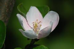 Fleur de coing photo stock
