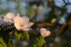 Fleur de coing Photos libres de droits