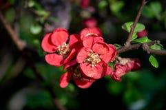 Fleur de coing Photographie stock libre de droits