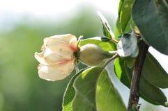 Fleur de coing avec le fruit vert photos stock