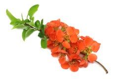 fleur de coing d'isolement sur le fond blanc Fleurs rouges Vue supérieure avec l'espace de copie images libres de droits
