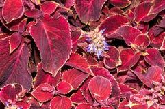 Fleur de coleus en automne Images libres de droits