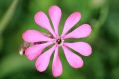 Fleur de colorata de Silene image stock