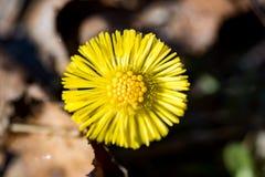 Fleur de Coltsfoot tôt au printemps en Suède photos stock
