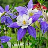 Fleur de Columbine Images libres de droits