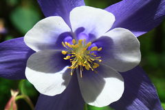 Fleur de Columbine bleu dans le Colorado Images libres de droits