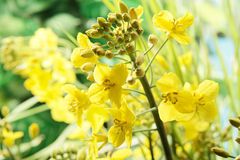 Fleur de colza oléagineux Photos libres de droits
