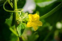 Fleur de concombre Image libre de droits