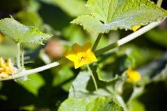 Fleur de concombre Images stock