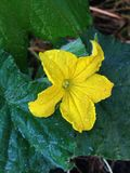 Fleur de concombre Image stock