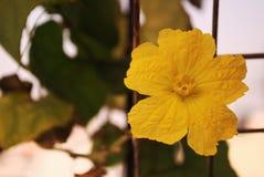 Fleur de concombre (mâle) Photo stock