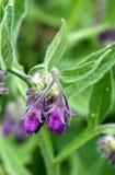 Fleur de consoude Images libres de droits