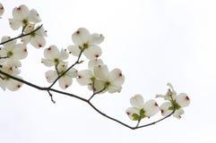 Fleur de cornouiller photos stock
